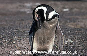 Magellan Penguin (Spheniscus magellanicus) : close up, adult standing, sleeping with head lolling to one side, Punta Tombo, Patagonia, Argentina, South America