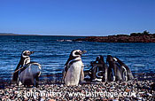 Magellan Penguins (Spheniscus magellanicus) : several adults, on gravel beach, sea background, Punta Tombo, Patagonia, Argentina, South America
