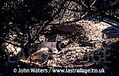 Magellan Penguin (Spheniscus magellanicus) : lone adult incubating eggs, under bush, Punta Tombo, Patagonia, Argentina, South America