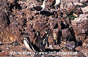 Magellan Penguins (Spheniscus magellanicus) : three adults standing among rocks, kelp gulls looking on, Larus dominicanus, Punta Tombo, Patagonia, Argentina, South America
