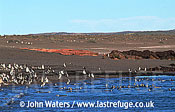 Magellan Penguins (Spheniscus magellanicus) : scenic, many Penguins at water's edge, gravel beach, and bushy scrub backgrou, Punta Tombo, Patagonia, Argentina, South America