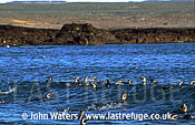 Magellan Penguins (Spheniscus magellanicus) : adults swimming in sea, riding wave, coastal background, Punta Tombo, Patagonia, Argentina, South America
