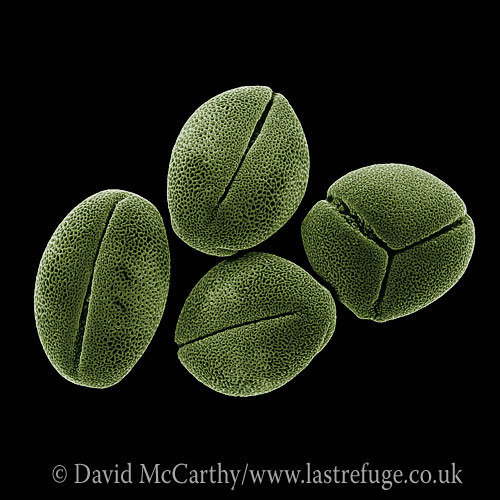 Scanning Electron Micrograph (SEM): Peony or paeony (Paeonia)Pollen Grains; Magnification x 3,350 (if print A4 size: 29.7 cm wide)