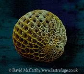 Scanning Electron Micrograph (SEM): Skeleton of Radiolaria, Zamoidellum ovum; Magnification x2400 (when printed A4, 29.7 cm cm wide)