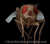 Scanning Electron Micrograph (SEM): House Fly, Musca domestica; Magnification x 30 (if print A4 size: 29.7 cm wide)