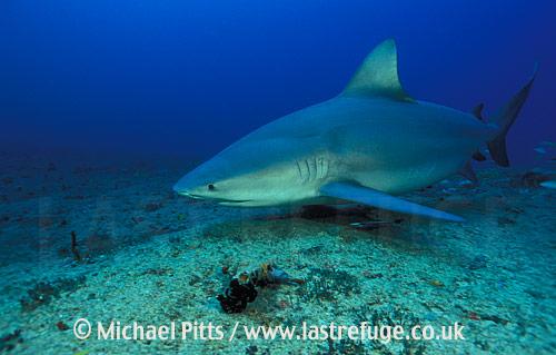 Bull Shark,Cuba,Atlantic.