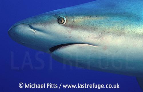 Grey Reef Shark,Bahamas