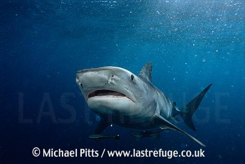 Tiger Shark,South Africa.
