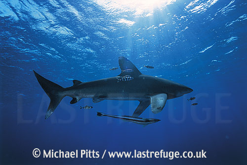 Oceanic WhiteTip Shark,Red Sea.
