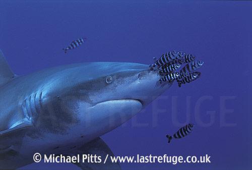 Oceanic WhiteTip Shark,Red Sea.