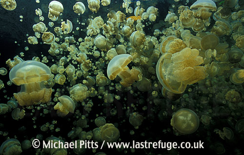 Mastigias sp,Jellyfish Lake,Palau.