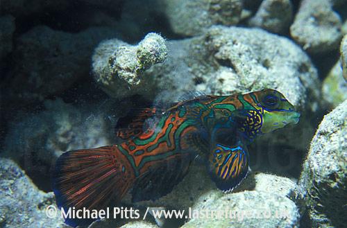 Mandarinfish,Micronesia,Pacific.