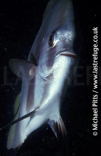 Teira Batfish,Pacific.