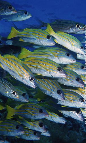 Blue-Sriped Seapearch,Pacific.