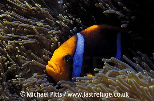 Orangefin Anemonefish,Pacific.
