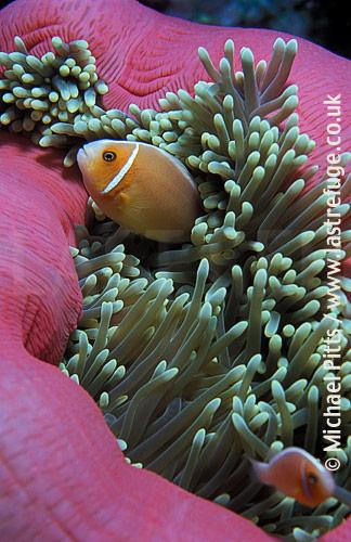 Pink Anemonefish,Pacific.