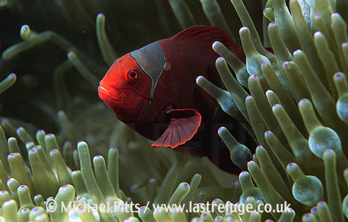 Tomato Anemonefish,Pacific.