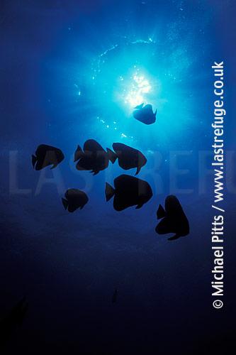 Circular Spadefish,Batfish,Indian Ocean
