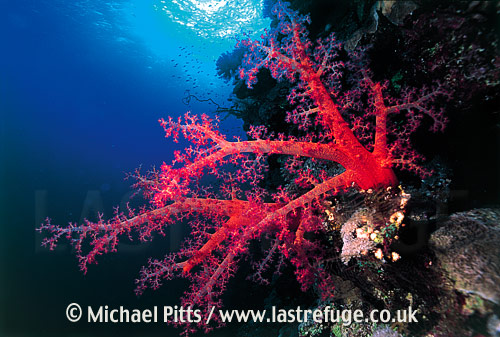 Soft Coral, Red Sea.