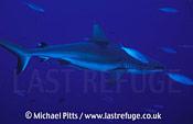Grey Reef Shark,Micronesia,Pacific.