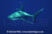 Galapogos Reef Shark,Midway,Pacific.