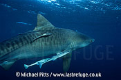 Tiger Shark,South Africa.