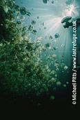 Mastigias sp,Jellyfish Lake,Palau.