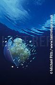 Unidentified species of Jellyfish,Micronesia.
