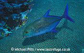 Bluefin Trevallie,Micronesia.