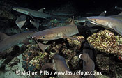 Whitetip Reef Shark,Cocos Island,Pacific.