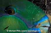 Chameleon Parrotfish,Micronesia.