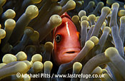 Pink Anemonefish,Pacific.