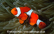 Clown Anemonefish,Solomon Islands.