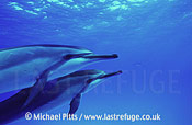 Spinner Dolphins,Midway.