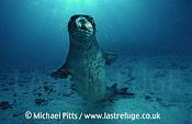 Hawaian Monk Seal,Midway.