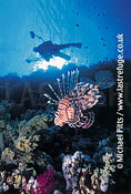 Lionfish and Diver,Red Sea.