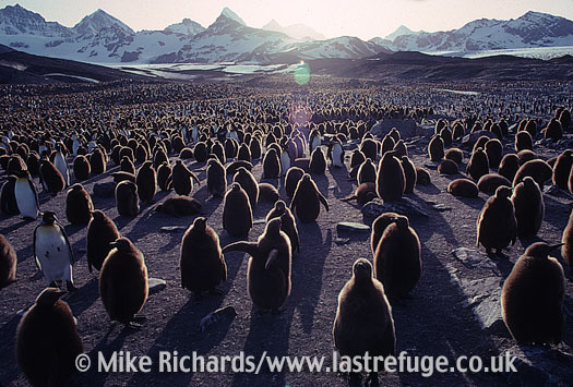 King Penguins (Aptenodytes patagonicus) , South Georgia