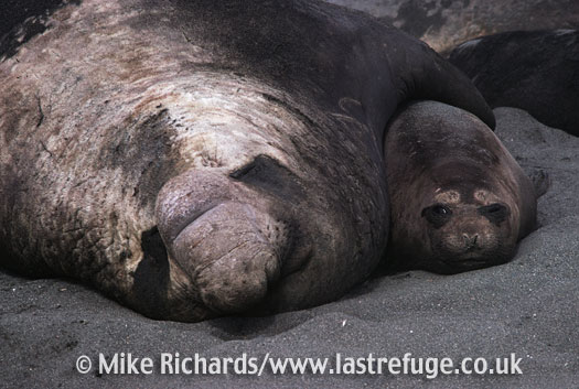 Elephant Seal (Mirounga leonina), male and female copulating, South Georgia