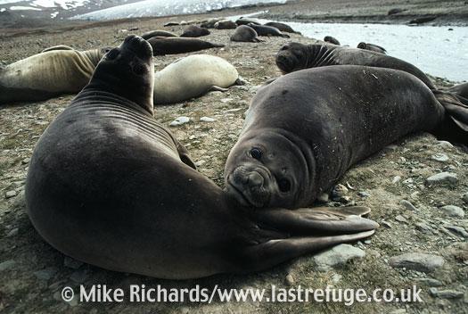 Elephant Seal (Mirounga leonina) 'Weaners', South Georgia