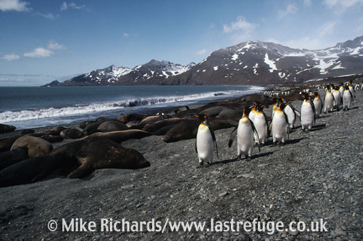 King Penguins (Aptenodytes patagonicus) and Elephant Seals (Mirounga leonina), South Georgia