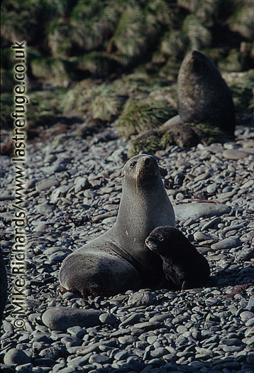 Fur Seal (Arctocephalus gazella) (Female) and pup, South Georgia