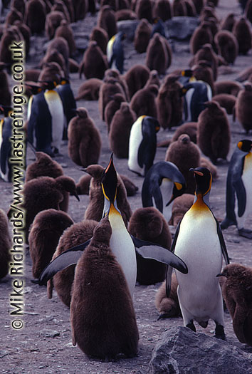 King Penguins (Aptenodytes patagonicus) adult calling to chick, South Georgia