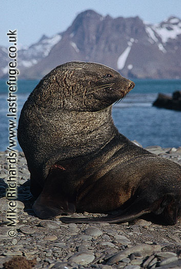 Fur Seal (Arctocephalus gazella) Male, South Georgia