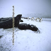 King Penguins (Aptenodytes patagonicus) by Snowy Elephant Seals (Mirounga leonina),