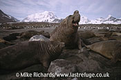 Elephant Seals (Mirounga leonina), South Georgia