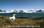 Wandering Albatross, South Georgia
