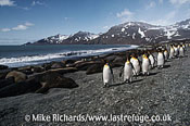 King Penguins (Aptenodytes patagonicus) and Elephant Seals (Mirounga leonina), South Georgia