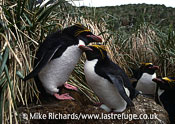 Macaroni Penguins (Endyptes chrysolophus) and egg, South Georgia