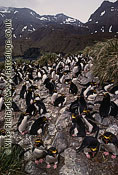 Macaroni Penguin Colony , South Georgia