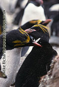 Macaroni Penguins (Endyptes chrysolophus), South Georgia